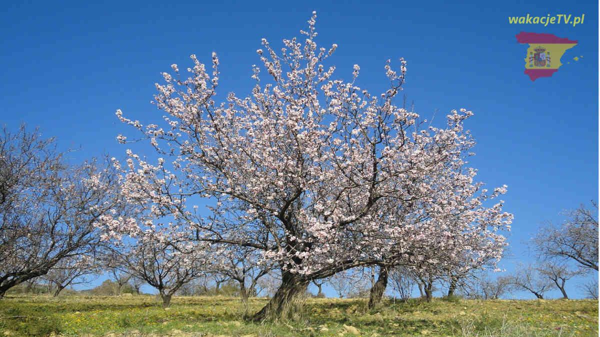 Hiszpania - wiosna - Ronda - Andaluzja - kwitnące drzewo