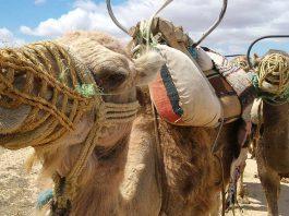 Tunezja wycieczki wielblad